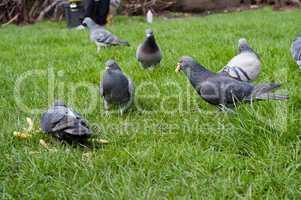 Gray piegons on green grass