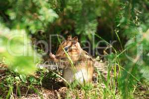 Chipmunk Hides in Undergrowth
