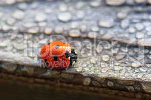Dew Covered Ladybug