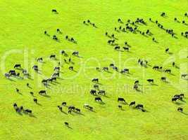 Cows herd.