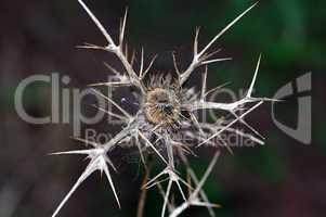 thorns plant
