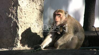Monkey Eating Green Leaf