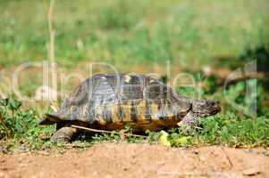 small forest turtle
