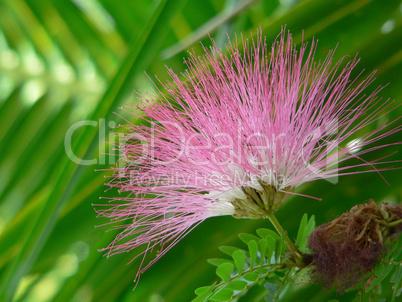 Albizia Julibrissin - silk tree, blossom - Seidenbaum, Blüte