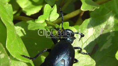 Oil Beetle - Meloidae