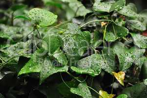ivy leaf with raindrops