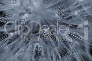 dandelion abstraction