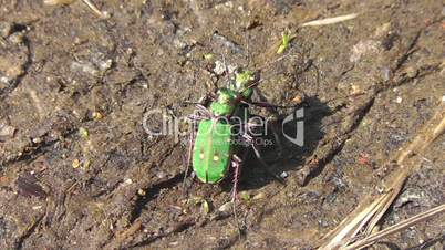 Field Sand Beetle - Feld-Sandlaufkäfer