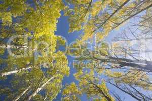 yellow aspen trees in fall