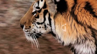 (1254d) Beautiful Endangered Indian Bengal Tiger Prowling Cage at Zoo