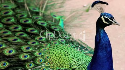 (1255a) Beautiful Peacock Displaying Feathers Calling Warning at Zoo