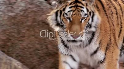 (1254a) Beautiful Endangered Indian Bengal Tiger Prowling Cage at Zoo