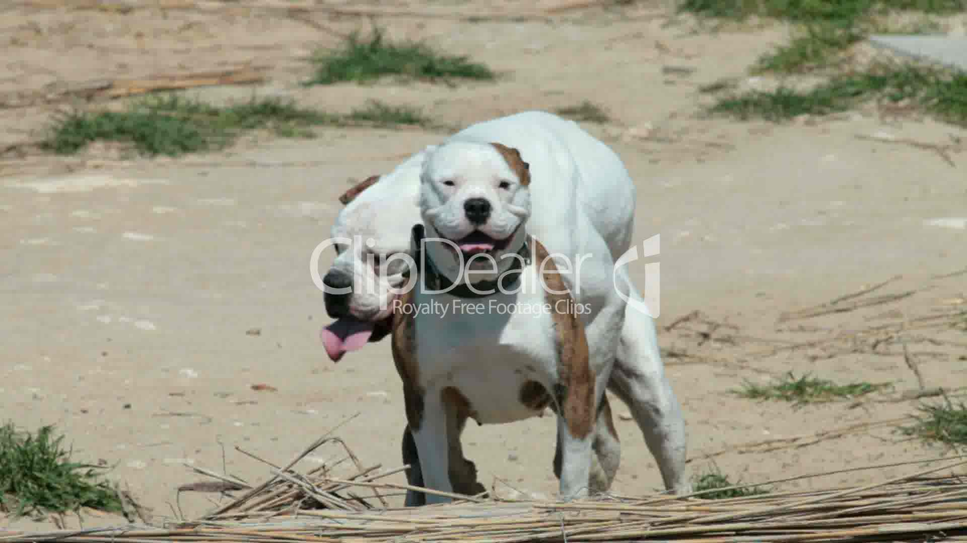 Dogs Mating Royalty-Free Video And Stock Footage-5536