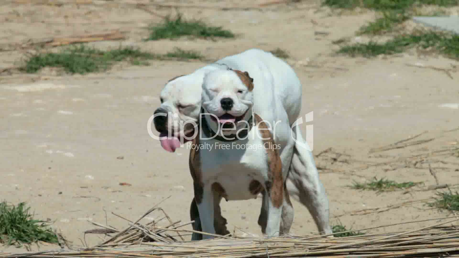 Dogs Mating Royalty-Free Video And Stock Footage-6680