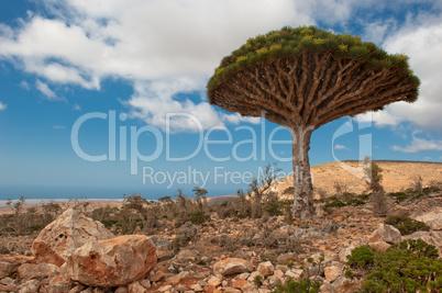 Dragon trees at Dixam plateau, Socotra, Yemen