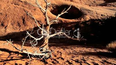 Dead Tree Caused by Desert Drought