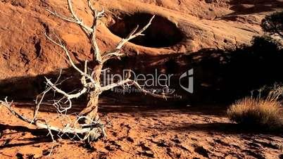 Skeletal Tree in Desert Drought Environment