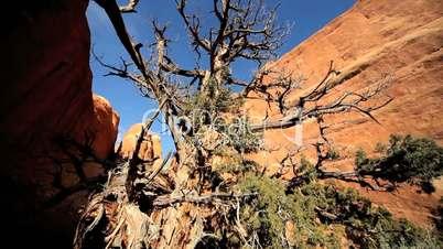 Dead Tree in Sandstone Gorge