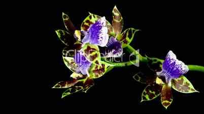 Orchidee blüht im Zeitraffer
