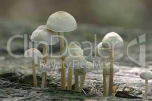 Dünnstielige Pilzchen