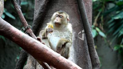 monkey eat