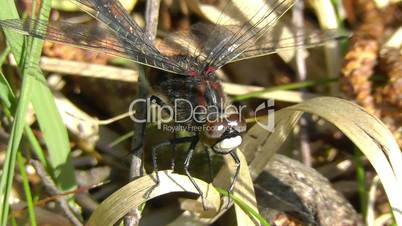 Small male white-faced darter - Leucorrhinia dubia