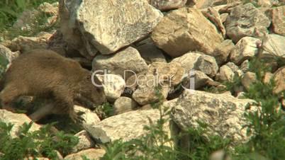 Jungmurmeltier klettert auf Steine