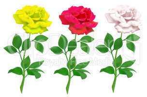 realistic rose isolated on white background
