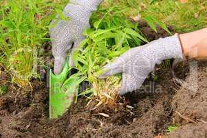 Bambus pflanzen - bamboo planting 02