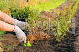 Hecke pflanzen - planting a hedge 05