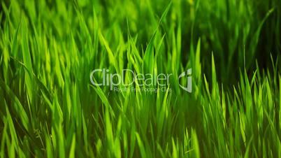 Grass green closeup Slow MOtion