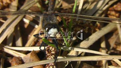 Small male white-faced darter