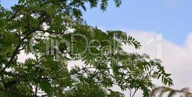 Zweig Vogelbeere Eberesche