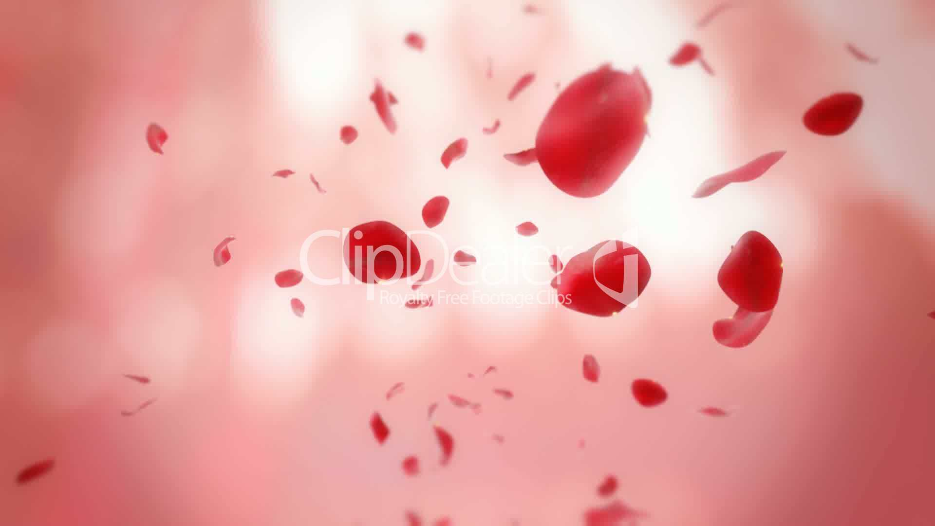 falling rose petals looped animation royaltyfree video