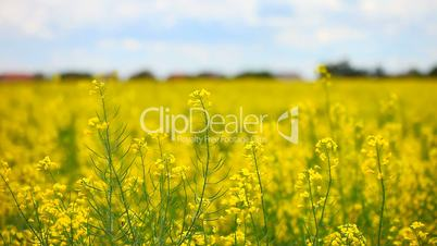 (rapeseed colza yellow Flowers change rack focus