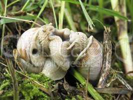 Helix pomatia mating