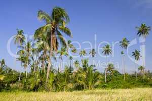 Coconut Palm Trees Grove