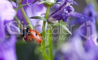 Marienkäfer auf lila Glockenblumen