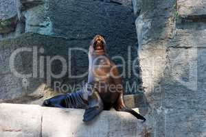 Sea lion sitting on artifial rock in zoo