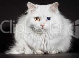 varicoloured eyes white cat