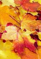 fallen maple multi-coloured leaves
