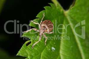 Rüsselkäfer (Curculio) / Weevil (Curculio)