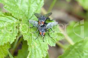 True Flies - Echte Fliegen - Muscidae