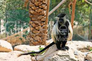 Black-and-white colobus monkey sitting under the palm-tree in zoo