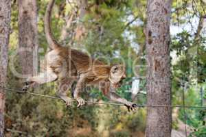 Rope-walking monkey