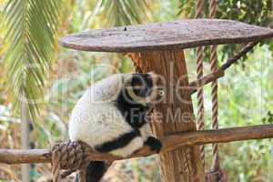 Black and white ruffed lemur in zoo
