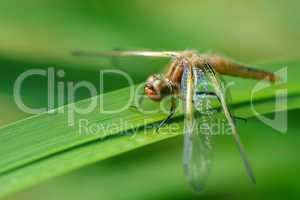 Nahaufnahme der Libellen in der Natur