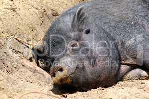 Entspanntes Schwein
