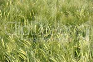 Weizen im Frühling