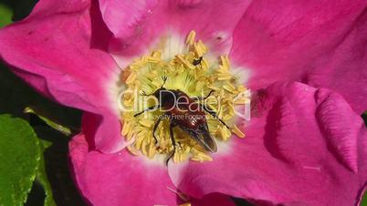 Rosehip - garden chafer - Hagebutte - Gartenlaubkäfer